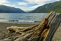 A tree stump on the beach at Lake Crescent Lodge on the Olympic Peninsula in the Olympic National Park in Washington State, USA.