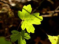 autumnal colored maple leaf in backlit.