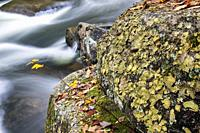 Yellowish-green leaf-like lichen covering a boulder near Little River - Corn Mill Shoals Trail, DuPont State Recreational Forest, Cedar Mountain, Nort...