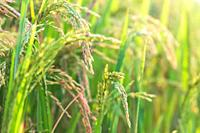Closeup of Rice crops ready for harvest in the field.