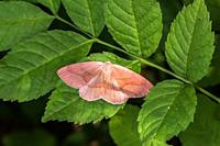 A barred red is sitting on a leave.