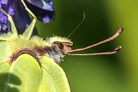 A common brimstone is sitting on a flower.