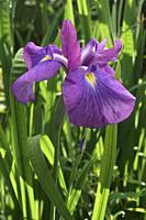 Japanese iris (Iris ensata). Another scientific name Iris kaempferi.