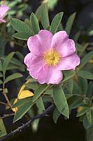 Swamp rose (Rosa palustris).