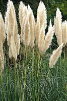 Pampas grass (Cortaderia selloana). Another botanical name is Cortaderia argentea.