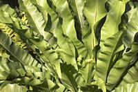 Bird's nest fern (Asplenium nidus). Close-up image of leaves.