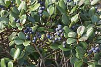 Japanese hawthorn (Rhaphiolepis indica var. integerrima). Called Yeddo hawthorn also.