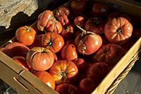 Tomatoes drying in the sun in a farm in the Alpujarra mountains, Sierra Nevada,near Granada,Spain,Europe.