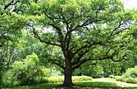 Oak forest of Orgi. Ultzama valley, Navarra, Spain.