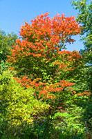 Sugar Maple (Acer saccharum) Queenswood Arboretum Herefordshire UK September 2020.