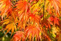 Japanese Maple (Acer palmatum) leaves in autumn colors, Queenswood Herefordshire UK. October 2020.