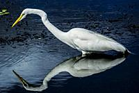 Great egret (Ardea alba) reflected in water, stalking for prey. South Florida, U. S. A. , North America.