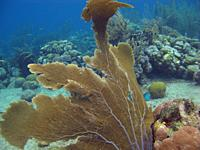 Gorgonians under water in the Caribbean sea around Bonaire, Netherland Antilles.