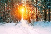 Amazing Beautiful sunset sunrise sun sunshine in sunny winter snowy coniferous forest.