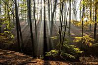 Herbst mit morgentlichen Sonnenstrahlen im Wald, Fröndenberg, Nordrhein-Westfalen, Deutschland   Autumn with early morning sun rays in the forest, Fro...