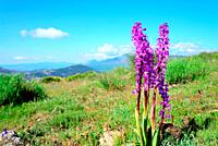 Orchid (Orchis champaneauxii) in Mondalindo hills, Bustarviejo, Madrid, Spain.