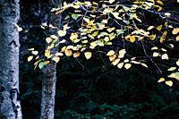 Autumn in the Canencia Birch. Madrid. Spain. Europe.