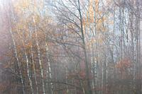 Autumnal deciduous forest in Mala Fatra national park, Slovakia.