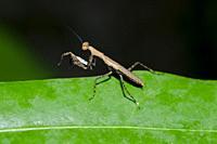 Praying Mantis (Mantodea Order) on leaf, Klungkung, Bali, Indonesia.