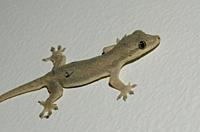 Flat-tailed House Gecko (Hemidactylus platyurus), Klungkung, Bali, Indonesia.