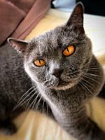 British shorthair cat in the British blue colour