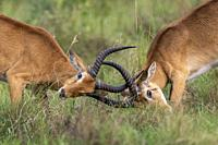Uganda Kob gather in the rainy season to graze the lush grasslands at Ishasha in the southwest sector of the Queen Elizabeth National Park, Fight betw...