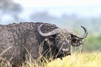 Cape buffalo (Syncerus caffer) gather during the rainy season to graze the lush grasslands at Ishasha in the southwest sector of the Queen Elizabeth N...