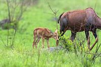 Topis (Damaliscus korrigum), Mother and baby grazing the lush grasslands, Ishasha Sector, Queen Elizabeth National Park, Uganda, Africa.