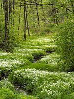 Poland. Stream in a wood