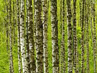 Poland. Podlasie region. Birch grove