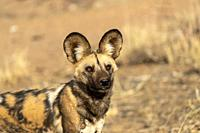Africa, Namibia, Private reserve, African wild dog or African hunting dog or African painted dog (Lycaon pictus), adult, captive.