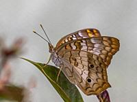 Close-up of a White Peacock (Anartia jatrophae) butterfly.