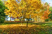 Japanese Maple (Acer palmatum, Bodenham Arboretum Worcestershire UK. October 2020.