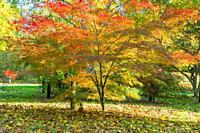 Acer palmatum linearilobum Bodenham Arboretum Worcestershire UK. October 2020.