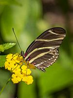 Closeup of a Zebra longwing or zebra heliconian (Heliconius charitonius) Butterfly the Florida state butterfly on a yellow flower.