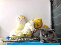 British Shorthair cat with toys and musical instrument