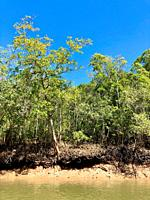Mangrove forest on the bank of a tidal creek in the Northern Territory of Australia.
