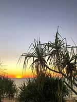 Silhouettes of Pandanus spiralis at sunset, against the ocean in the Northern Territory of Australia.