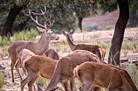Red Deer, Cervus elaphus, Rutting Season, Monfragüe National Park, SPA, ZEPA, Biosphere Reserve, Cáceres Province, Extremadura, Spain, Europe.