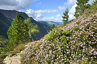 France, Ariege, Couserans region, Mont Valier trek, Riberot valley, Heather bushes.