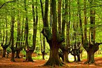 Beech Otzarreta. Natural Park Gorbea. Pais Vasco.