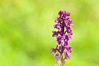 Early Purple Orchid (Orchis mascula) in flower during spring at Velvet Bottom in the Mendip Hills, Somerset, England.