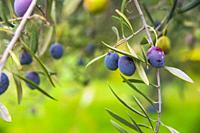 Branch of olive tree with olives.
