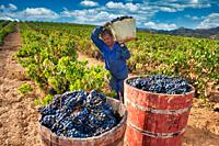"Wooden baskets called """"comportas"""" during the harvest, Vintage, Lopez de Heredia Viña Tondonia, Rioja wine cellar, Haro, La Rioja, Spain, Europe"