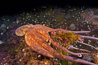 Common octopus (Octopus vulgaris) swimming and devouring Great spider crab (Maja squinado). Eastern Atlantic. Galicia. Spain. Europe.