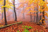 Beech forest in Mala Fatra national park on a foggy day, Slovakia.