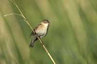 Reed Warbler-Acrocephalus scirpaceus. Spring.