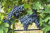ripe black grape bunches and leaves on vine in vineyard near Raiano, L'Aquila, Abruzzo, Italy.