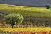 France, Tarn, Lisle sur Tarn, Gaillac vineyard in autumn.