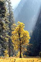 Sunlight on Oak in Fall Yosemite Natioal Park CA USA World Location.